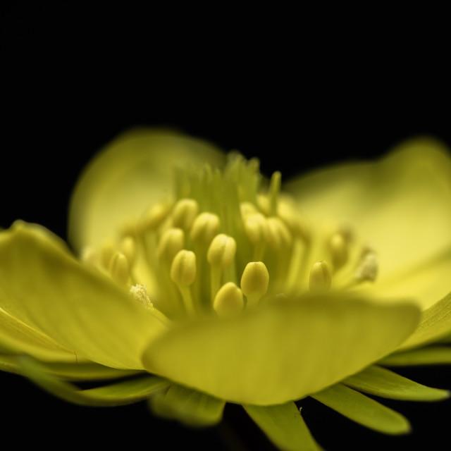 """Winter Aconite (Eranthis hyemalis) flower, macro against black background"" stock image"