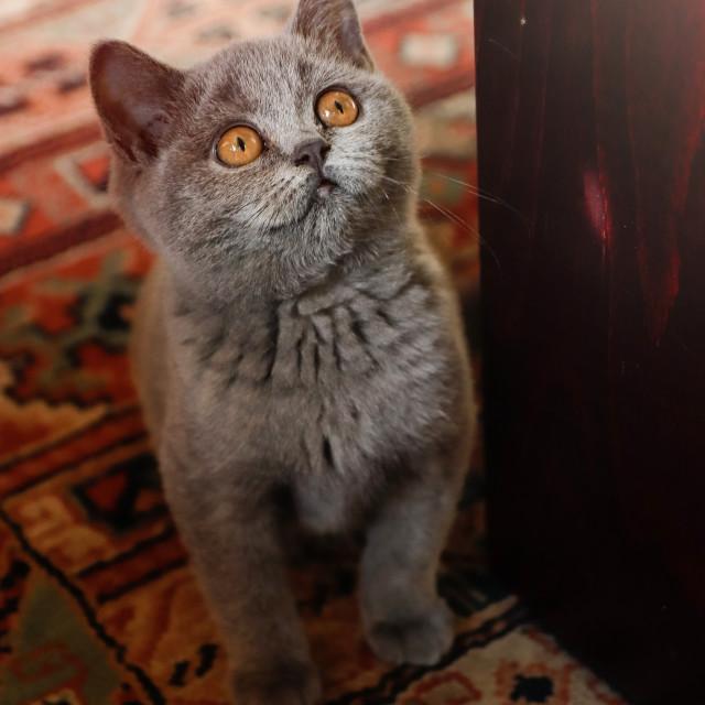 """Small cute british shorthair kitten"" stock image"
