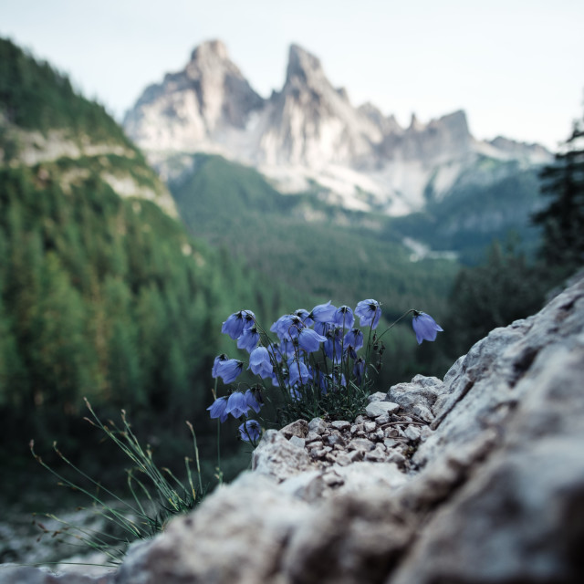 """""""Blue flowers with beautiful mountains in the background"""" stock image"""