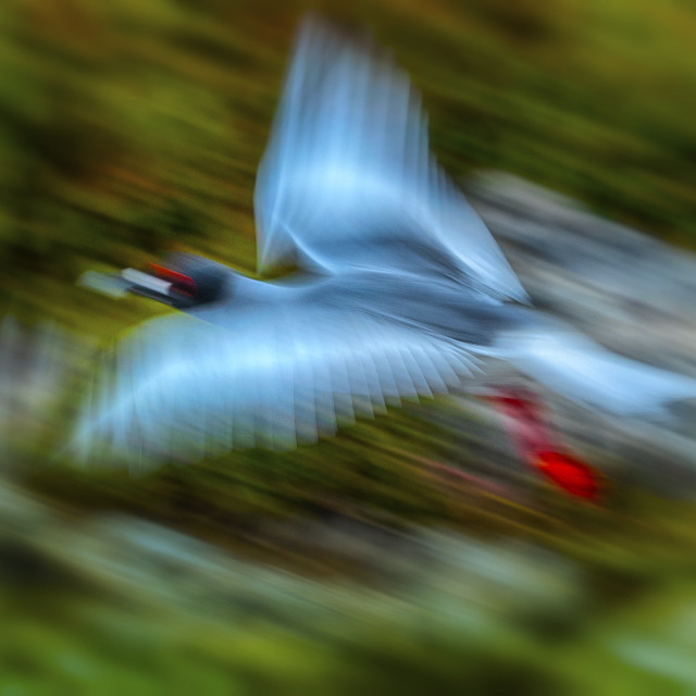 """""""Red footed Booby in flight"""" stock image"""