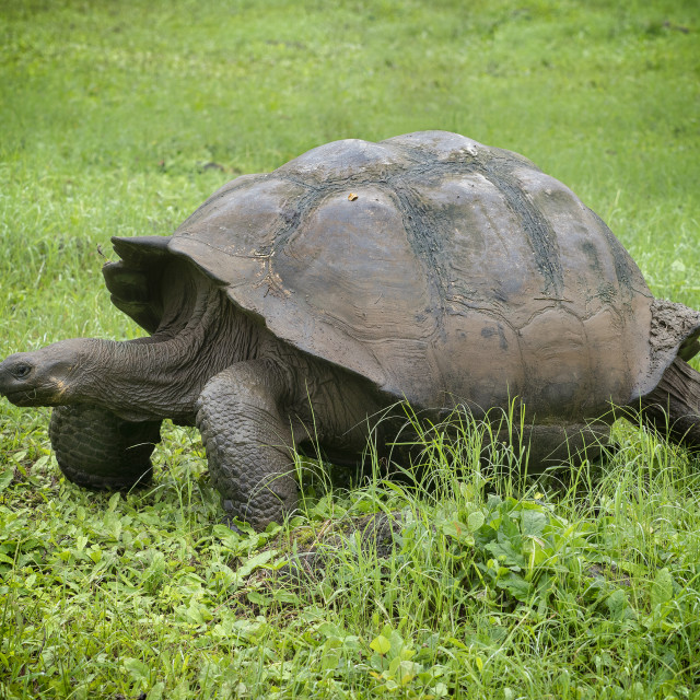 """Giant Galapagos turtle"" stock image"