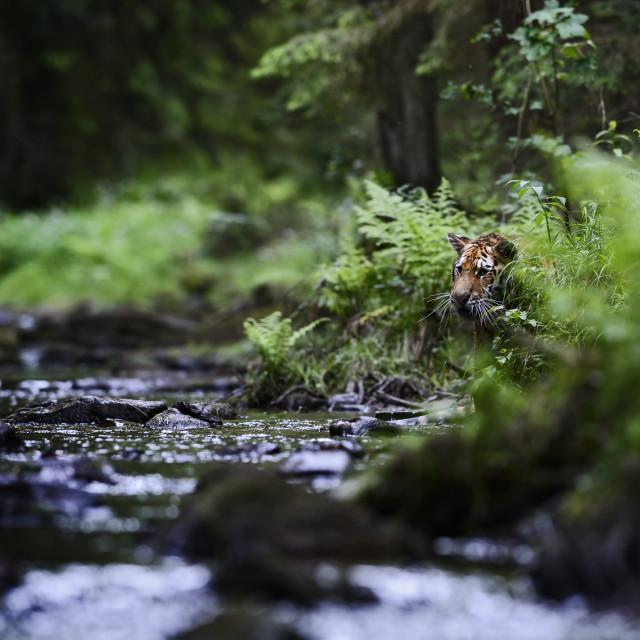 """Siberian Tiger - Panthera tigris"" stock image"