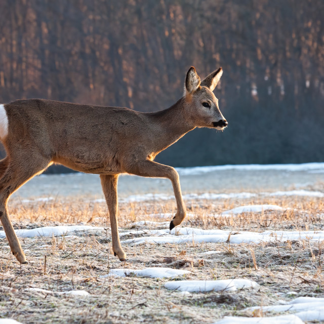 """Roe deer doe walking on meadow from side view in winter"" stock image"