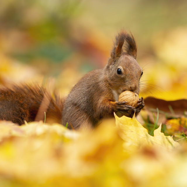 """""""Watchful red squirrel feeding himself with a walnut in the middle of the..."""" stock image"""