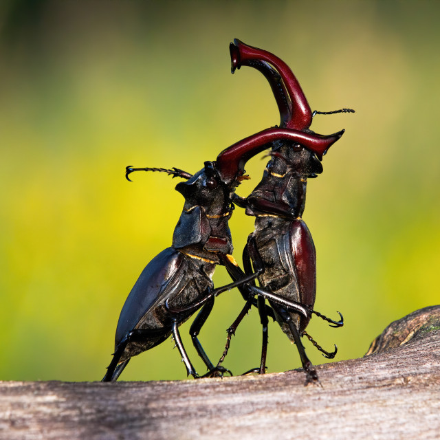 """Stag beetles standing in an upright position during a territorial combat"" stock image"