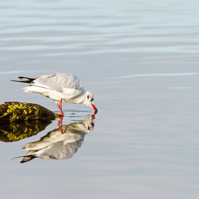 """Black-headed gull (Chroicocephalus ridibundus) taking a drink reflected..."" stock image"
