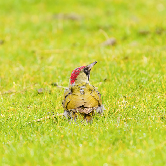 """""""Green Woodpecker (Picus viridis) standing in grass looking up, in the UK"""" stock image"""