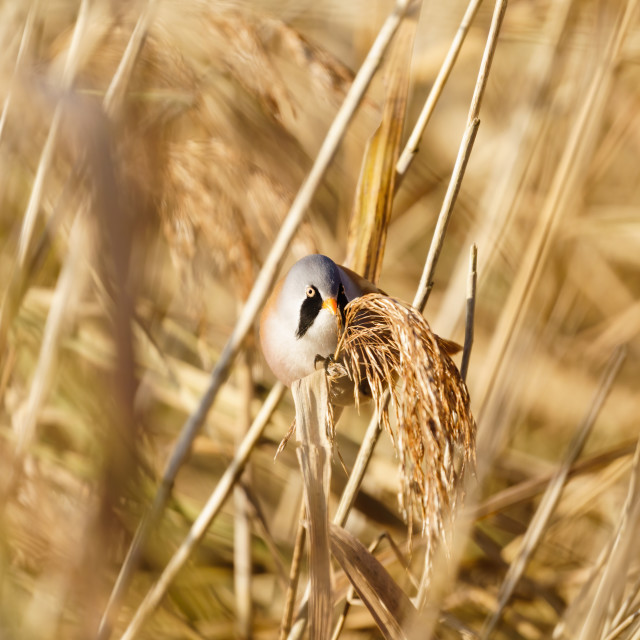"""""""Male bearded reedling (Panurus biarmicus) perched on reed, eating seeds,..."""" stock image"""