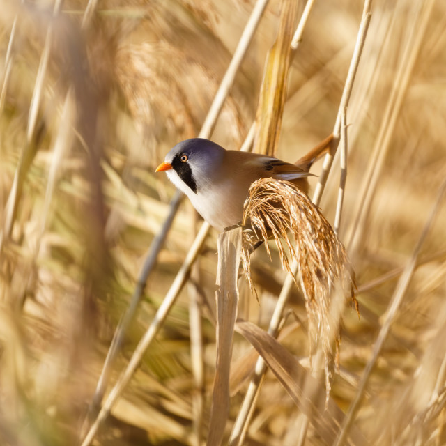 """""""bearded reedling (Panurus biarmicus) male perched on a reed, taken in England"""" stock image"""