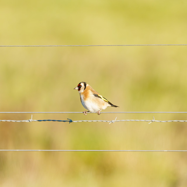 """""""European Goldfinch (Carduelis carduelis) perched on a wire fence in Essex,..."""" stock image"""