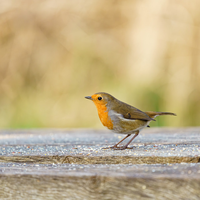 """European Robin (Erithacus rubecula) on a bench covered in seeds in winter,..."" stock image"