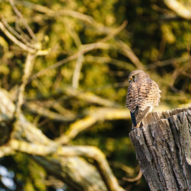"""Common Kestrel (Falco tinnunculus) perched on a tree stump"" stock image"