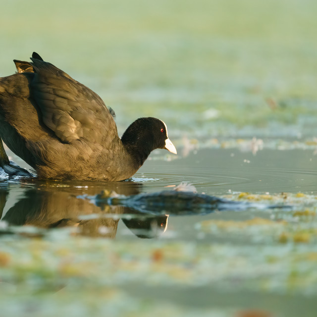 """Coot (Fulica atra) climbing into waters of a small lake, taken in the UK"" stock image"