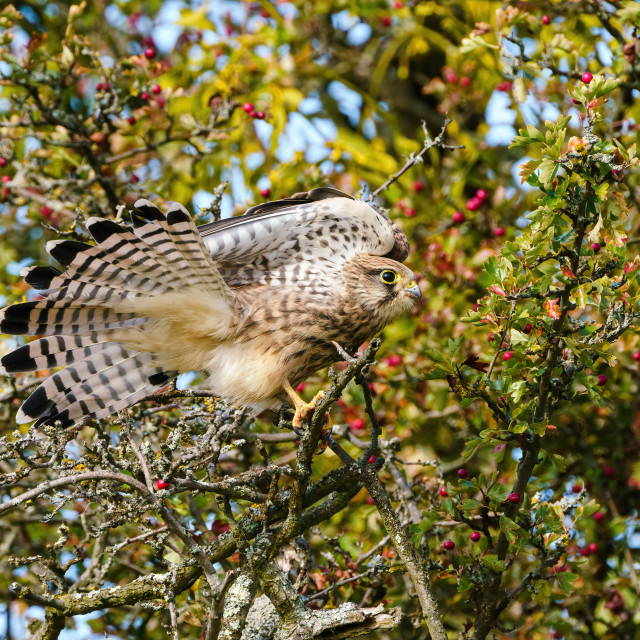 """Common Kestrel (Falco tinnunculus) fanning it's tail feathers, taken in London"" stock image"