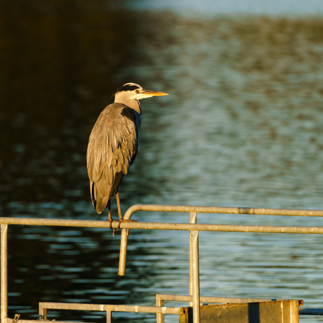 """Grey Heron (Ardea cinerea) sitting on a fail overlooking a pond, taken in UK"" stock image"