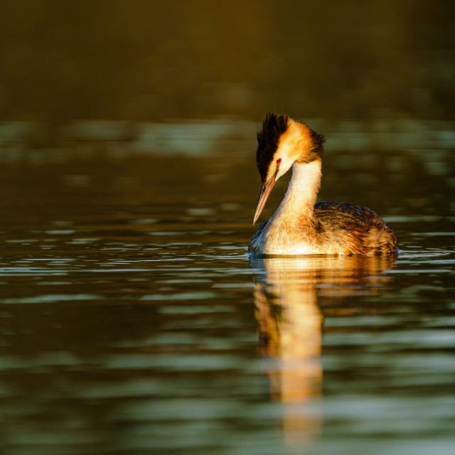 """Great Crested Grebe (Podiceps cristatus) looking down into water at dawn,..."" stock image"