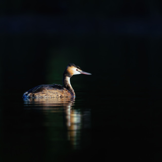 """Great Crested Grebe (Podiceps cristatus) standing out against dark water on..."" stock image"