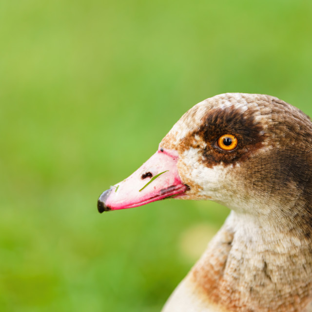 """Egyptian goose (Alopochen aegyptiacus) clsoeup portrait, taken in the UK"" stock image"