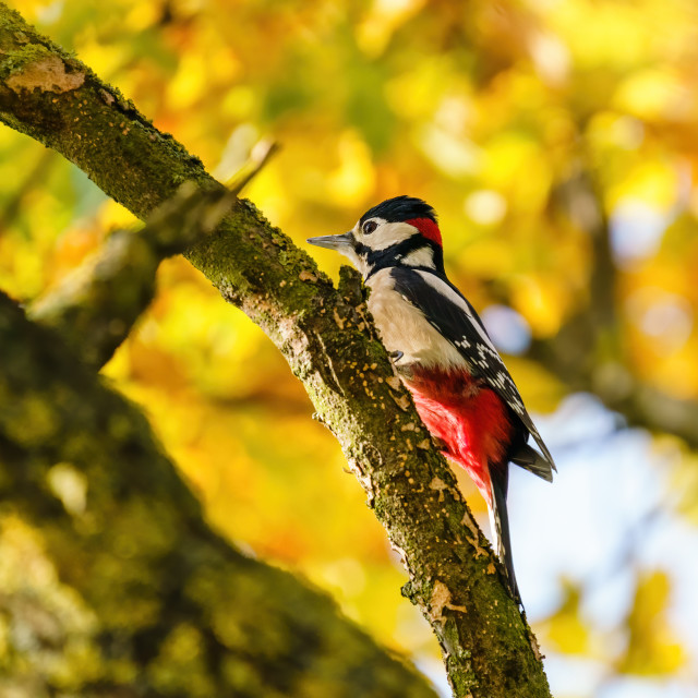 """""""Greater Spotted Woodpecker (Dendrocopos major) in a tree with beautiful..."""" stock image"""