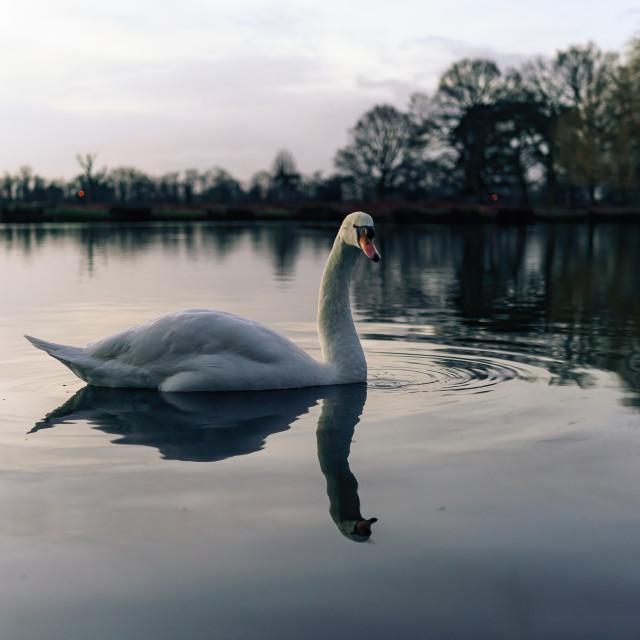 """Mute swan (Cygnus olor) on a lake at dawn, taken in the UK"" stock image"