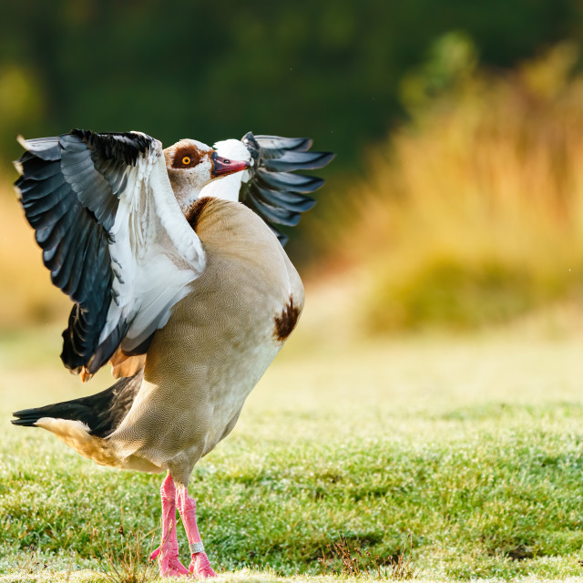 """Egyptian goose (Alopochen aegyptiacus) with it's wings stretched to the..."" stock image"