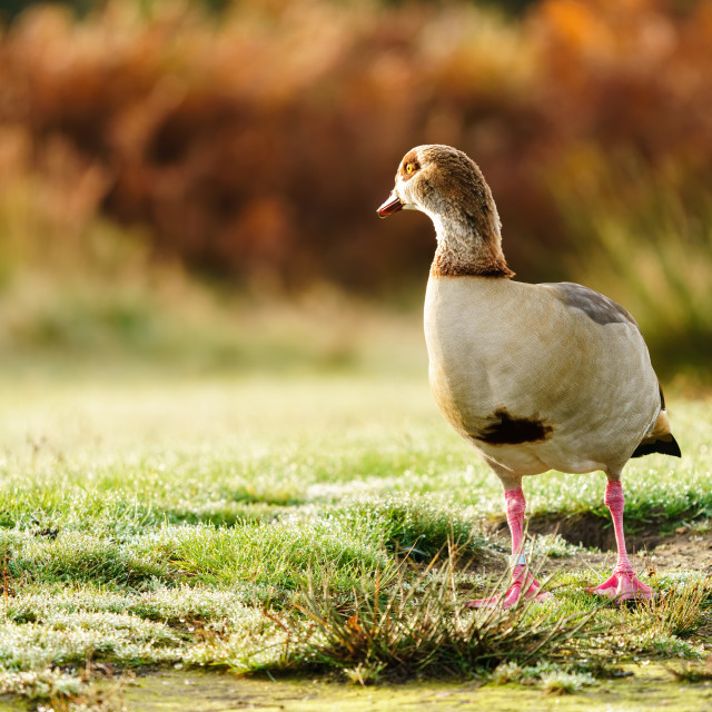"""Egyptian goose (Alopochen aegyptiacus) looking back over it's shoulder in..."" stock image"