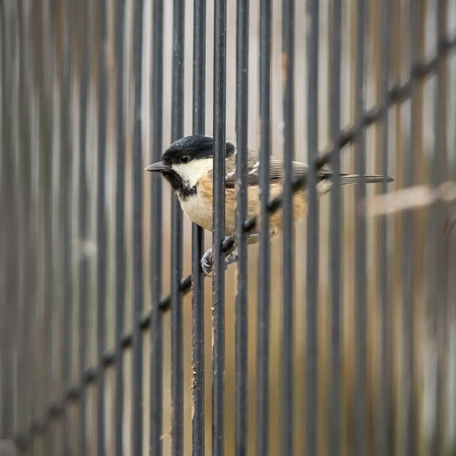 """""""A Coal Tit (Periparus Ater) perches on a wire fence posing for a close up head shot portrait."""" stock image"""