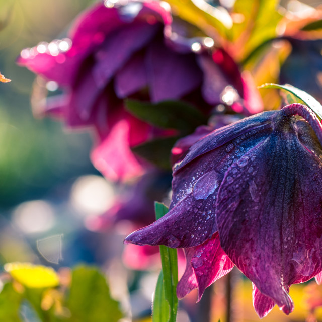 """Helleborus in the sun after the rain"" stock image"