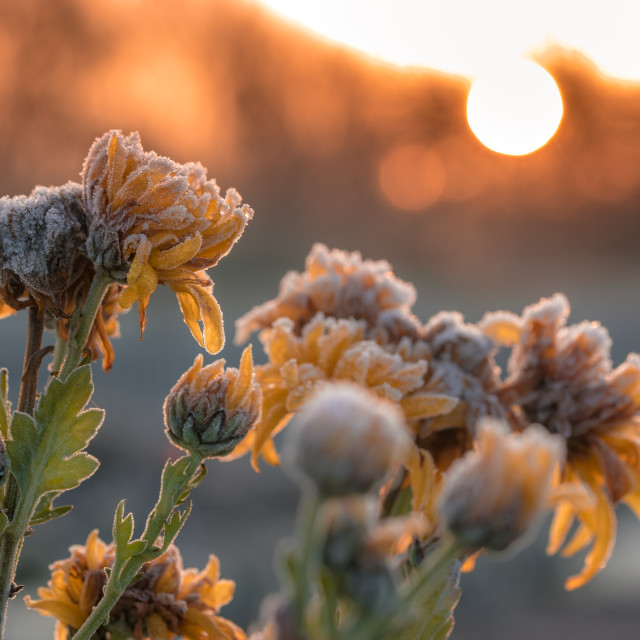 """Flowers in the morning frost"" stock image"
