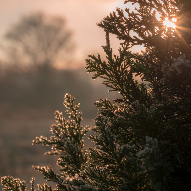 """Sun coming through a Christmas tree"" stock image"