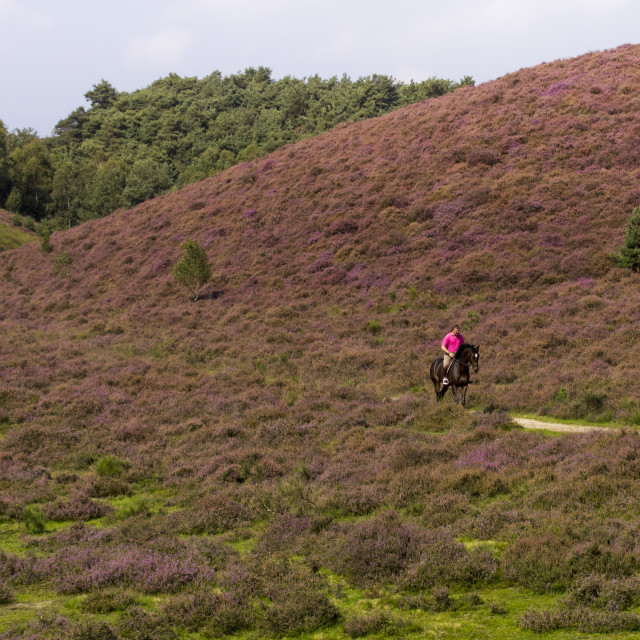 """Man riding on horse in the heather"" stock image"