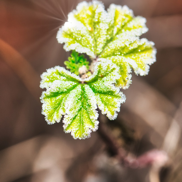 """Twig with fresh green leaves covered by frost"" stock image"