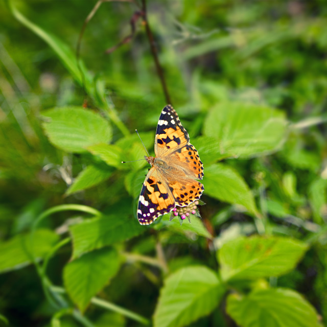"""""""Vanessa Cardui butterfly on a pink flower"""" stock image"""