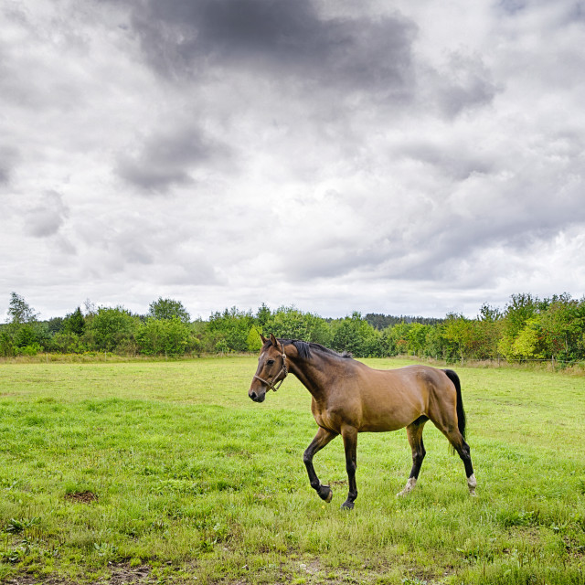 """""""Brown horse walking on a green field in cloudy weather"""" stock image"""