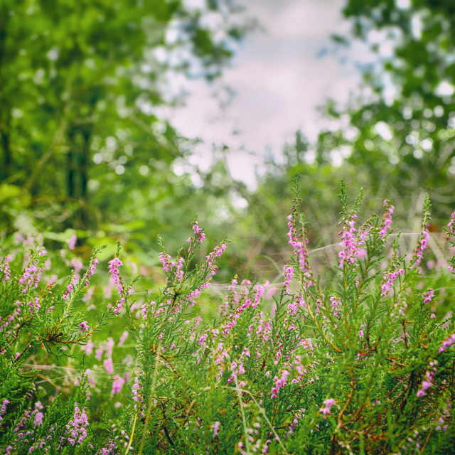 """""""Wild heather in a green forest in the summer"""" stock image"""