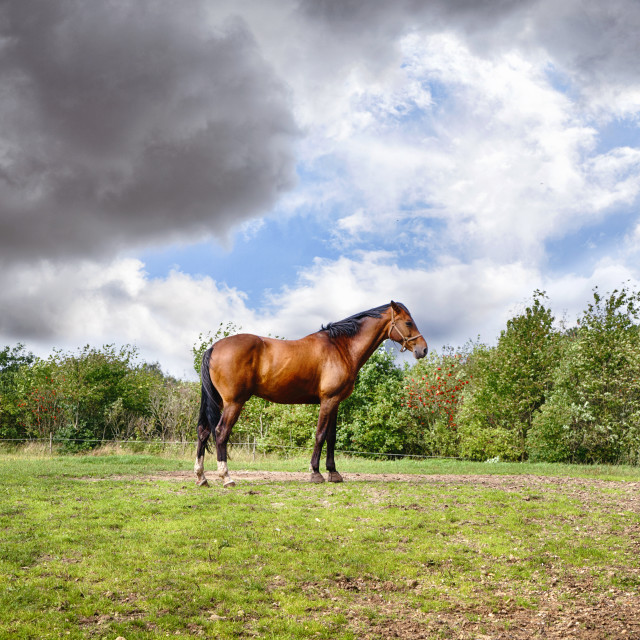 """""""Brown horse standing on a green field"""" stock image"""