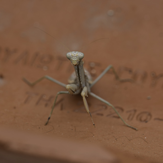 """""""Mantis On Roof Tile"""" stock image"""