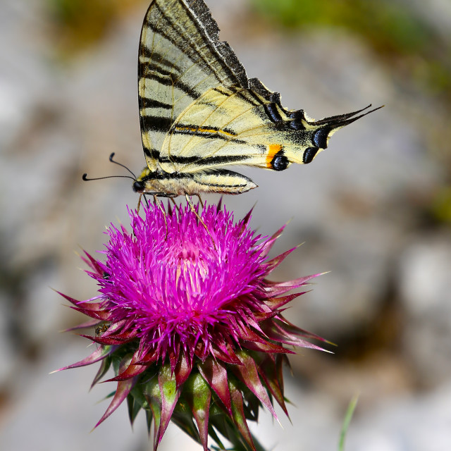 """Scarce Swallowtail (Iphiclides podalirius) butterfly on a purple"" stock image"