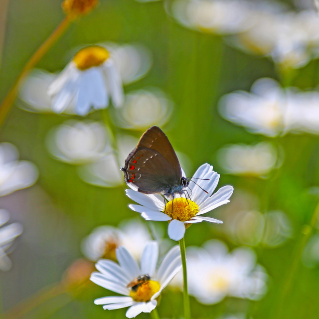 """An Ilex Hairstreak (Satyrium ilicis) butterfly nectering on a da"" stock image"