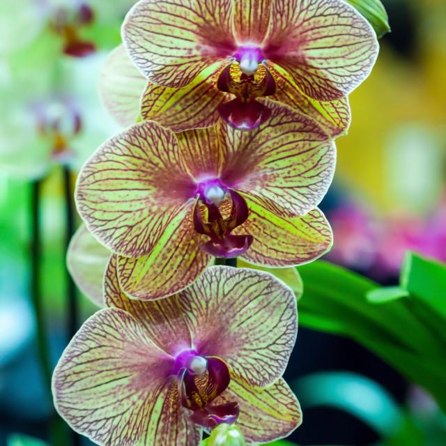 """Moth Orchid Phalaenopsis Balkans"" stock image"
