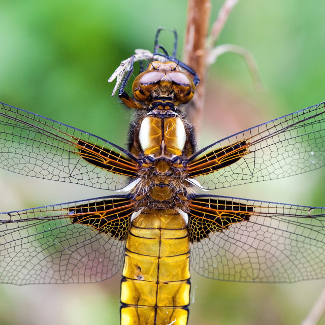 """""""Broad-bodied Chaser (Libellula depressa) dragonfly"""" stock image"""