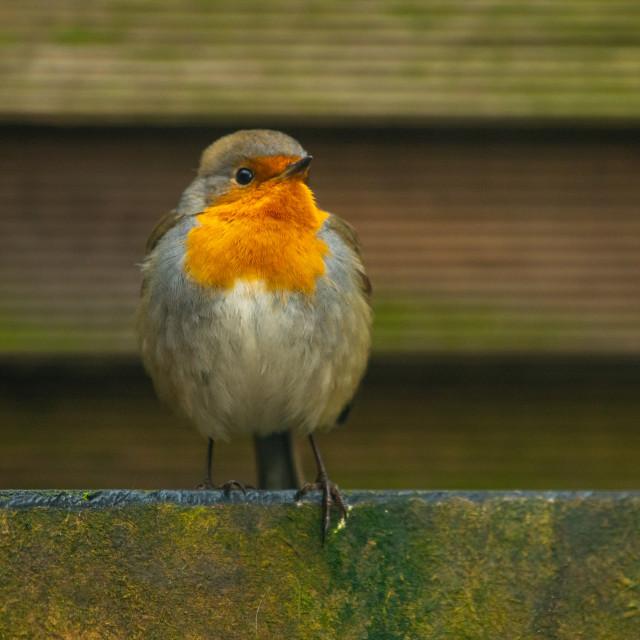 """""""Robin bird in backyard garden"""" stock image"""
