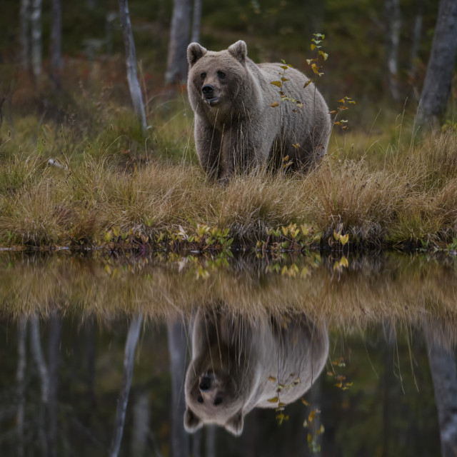 """Brown Bear - Ursus arctos"" stock image"
