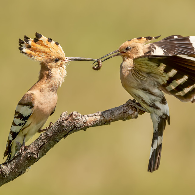 """""""Male Hoopoe Passing Food to Female"""" stock image"""
