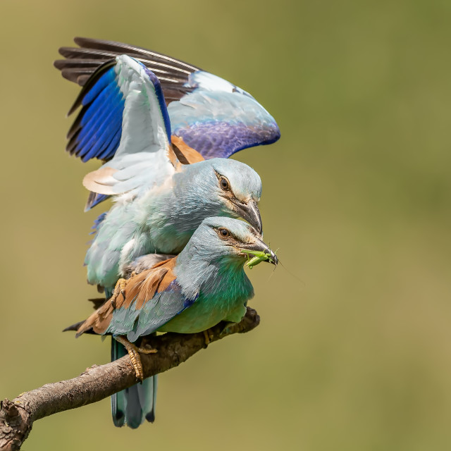 """""""European Rollers Mating"""" stock image"""