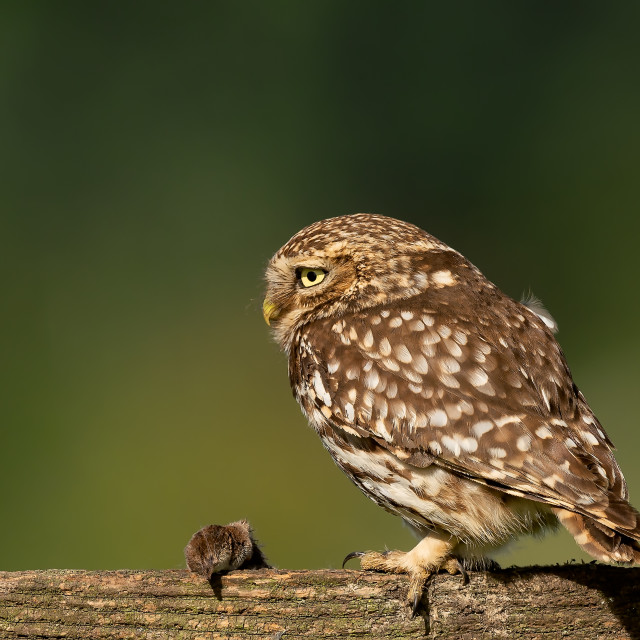 """""""Little Owl with Prey"""" stock image"""