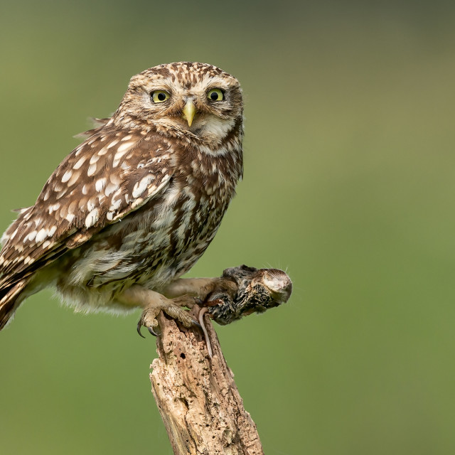 """""""Little Owl with Common Shrew"""" stock image"""