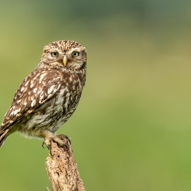 """""""Little Owl Portrait"""" stock image"""