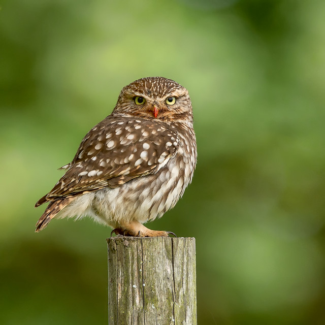 """""""Little Owl with Bloodied Beak"""" stock image"""