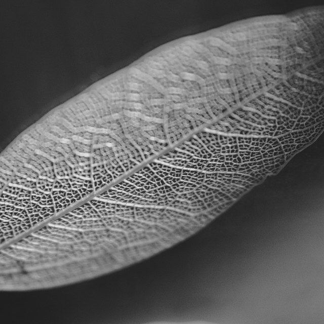"""""""Leaf structure in monochrome"""" stock image"""